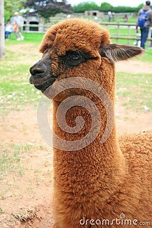 Baby of lama