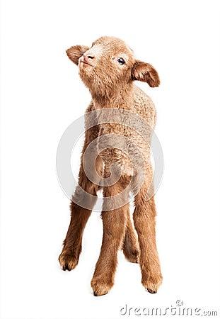 Free Baby Lamb Isolated On White Background Royalty Free Stock Photography - 38552547