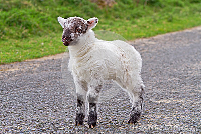 Baby lamb on the road