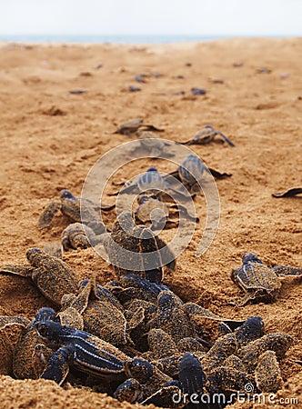 Free Baby Leatherback Turtle Nest Stock Photography - 36029822