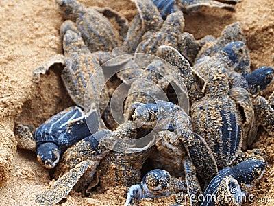 Baby leatherback turtle nest