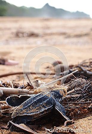 Baby leatherback turtle