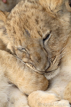 Free Baby Lion Royalty Free Stock Photography - 1654247