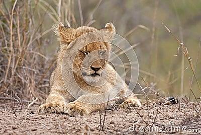 Baby lion asleep