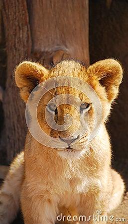 Baby lion portrait