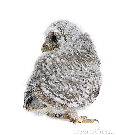 Baby Little Owl in front of a white background