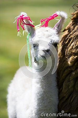 Baby Llama, Bolivia