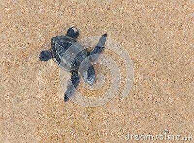 Baby Loggerhead sea turtle