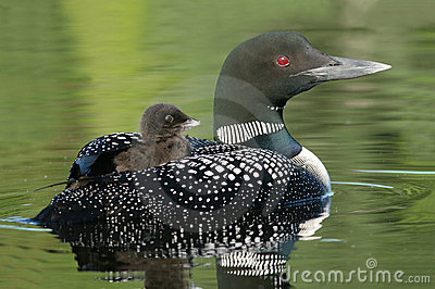 Baby Common Loon (Gavia immer) riding on mothers b