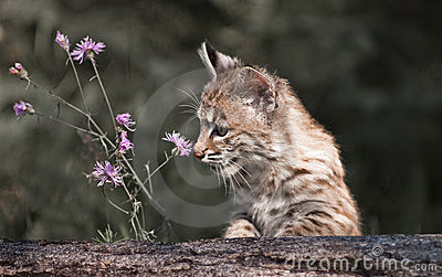 Baby Lynx looking at flower