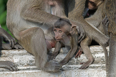 Baby macaque monkey.