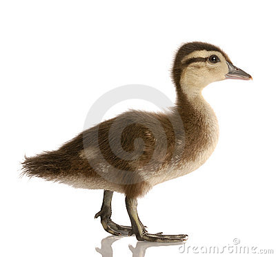 Free Baby Mallard Duck Royalty Free Stock Photo - 9732195