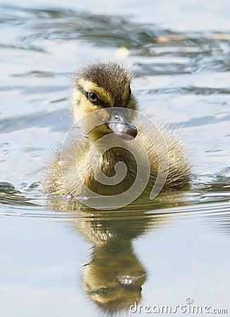 Free Baby Mallard Duck Duckling - Anas Platyrhynchos Royalty Free Stock Photography - 64364357