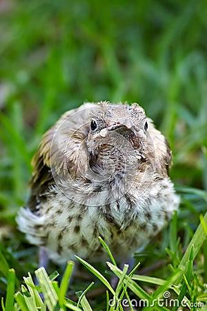 Baby miner bird