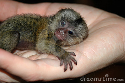 Baby monkey in hand