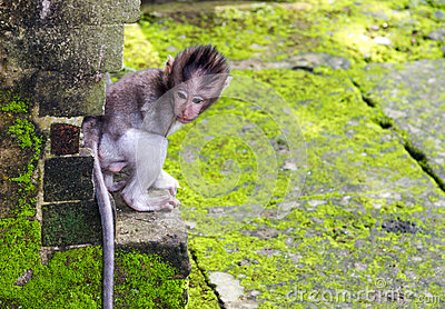 Baby-monkey hiding in Ubud forest, Bali