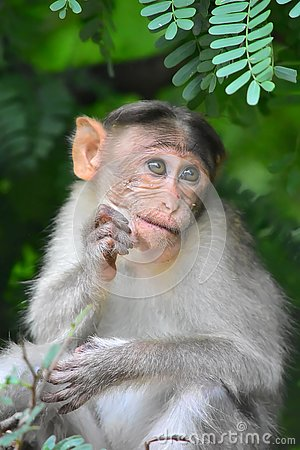 Free Baby Monkey In Alagarkoil Royalty Free Stock Image - 133037186