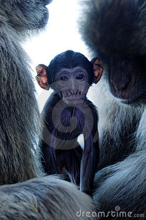 Baby monkey with parents