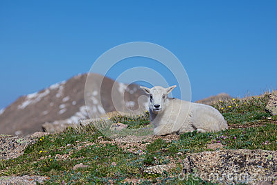 Baby Mountain Goat Bedded