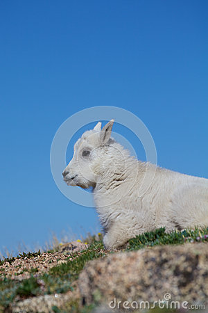 Baby Mountain Goat Close up