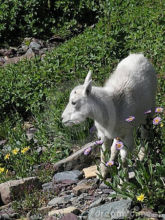 Baby Mountain Goat in Flowers
