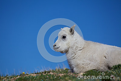 Baby Mountain Goat Portrait