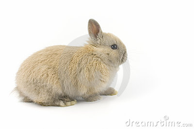 Baby of Netherland dwarf rabbit