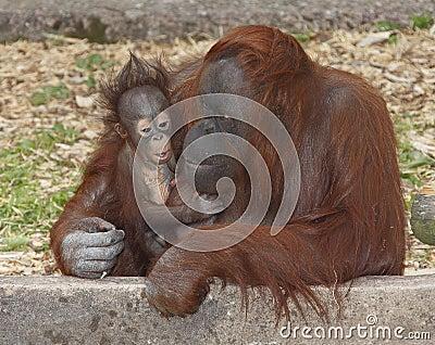 Baby Orangutan and mother