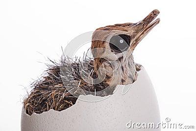Baby Ostrich in Egg