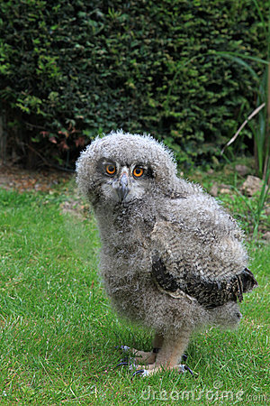 Free Baby Owl Royalty Free Stock Photography - 9721037