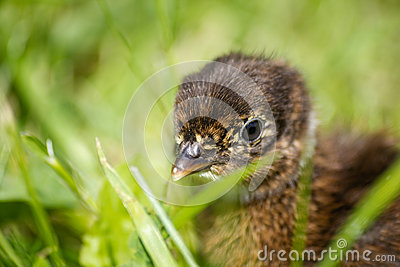 how to raise baby pheasants