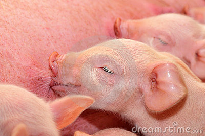 Baby Pigs Feeding with Mother