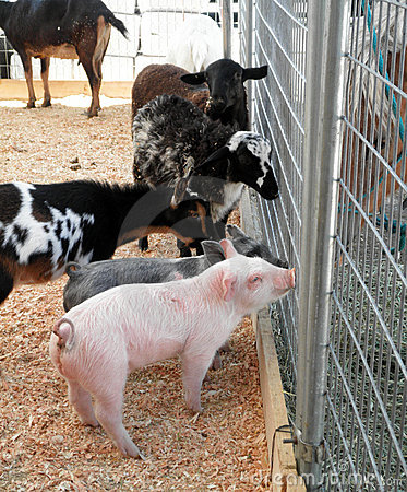 Free Baby Pigs, Goats And Sheeps Ask A Horse For Advice Stock Images - 14943414