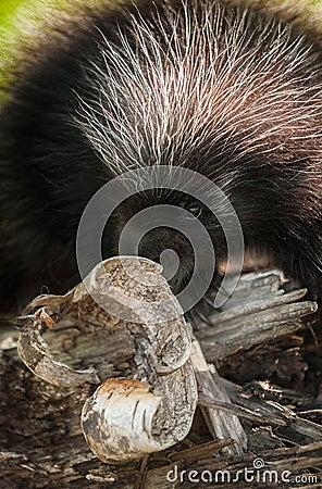 Baby Porcupine (Erethizon dorsatum) Behind Birch Curl