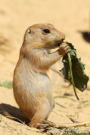 Baby prairie dog eating a leaf