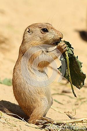 Baby prairie dog eating a leaf