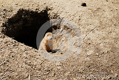 Baby prairie dog by his den