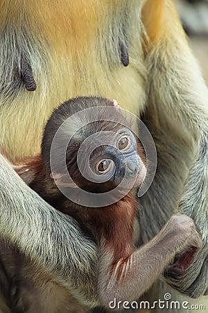 Baby Proboscis monkeys