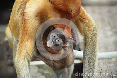 Baby Proboscis monkeys