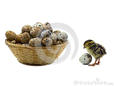 Baby quails and wood basket filled with eggs