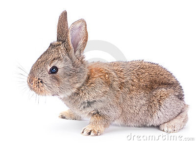 Baby rabbit on white