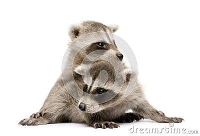 Baby raccoon (6 weeks) - Procyon lotor