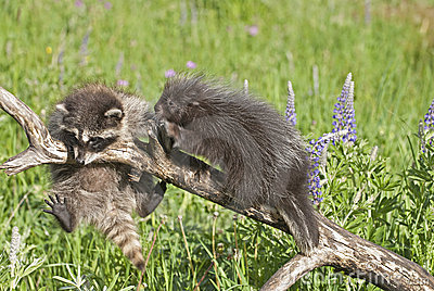 Baby raccoon and porcupine