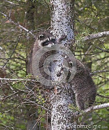Baby raccoons climbing tree