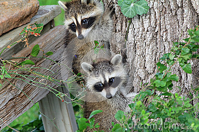 Baby Raccoons Hiding from Danger