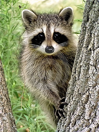 Free Baby Racoon Royalty Free Stock Photo - 5169185