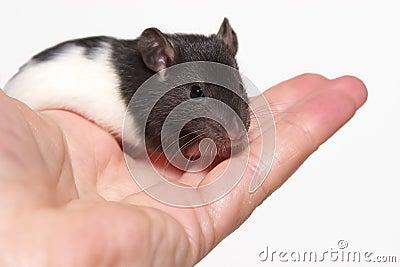 Baby rat in hand