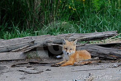 Baby Red Fox Kits near den