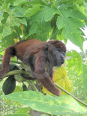 Baby Red Howler Monkey