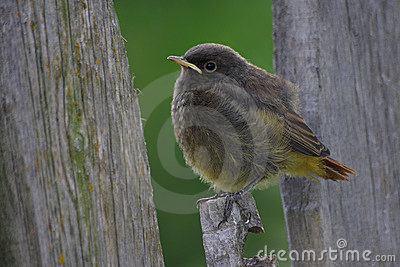 Baby Redstart
